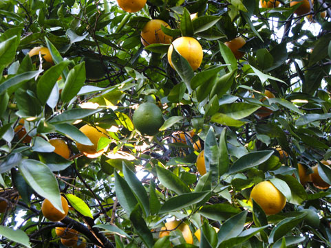 Fresh citrus fruits of all kinds abound in the orchard.