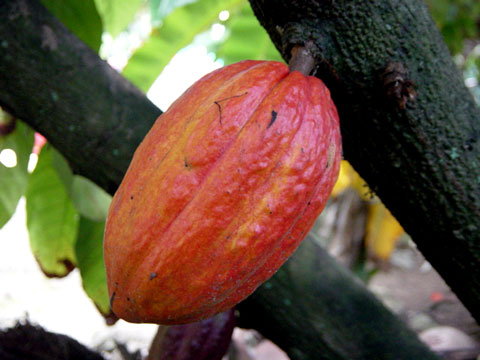 Besides being very tasty, raw cocoa has proven health benefits.