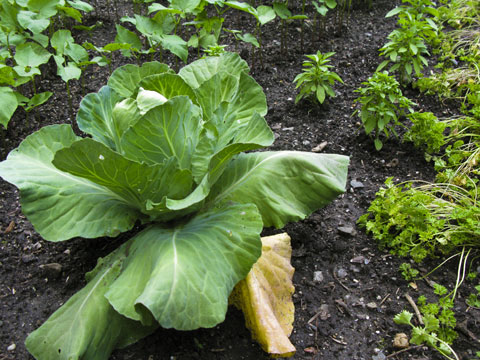 Green cabbage.