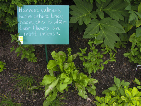 Harvest culinary herbs before they bloom for intense flavor.