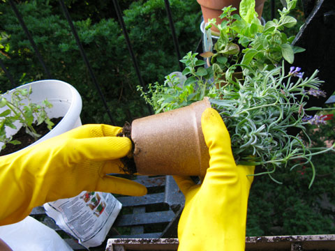 Remove plants from plastic pots and loosen the roots before planting.