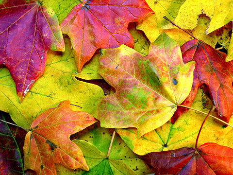 Beautifully colored fall leaves, ready to be placed in a bowl and displayed on your dining table. Photo by Darren Hester, Creative Commons.