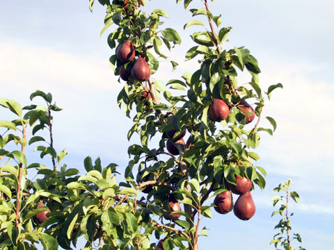 he Red Clapp's Pear is one of the first fresh pears of the year, ready to eat in mid August.