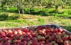 Goodlifer: Jerzy Boyz Farm - Deliciously Crisp Organic Apples