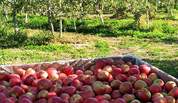 Goodlifer: Jerzy Boyz Farm - Deliciously Crisp Organic Apples