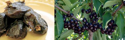 Left: The Black Sphinx is a distinctive variety of date discovered as a rogue seedling in Phoenix, Arizona in 1928. Right: The Black Republican cherry has an intense black cherry flavor and was highly regarded by many growers, but lost favor because of its smaller size and tendency to be slightly astringent when not fully ripe.