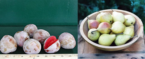 Left: When the Elephant Heart Plum is perfectly ripe, the meat is so juicy that it is more like a beverage than a fruit. The soft flesh is luscious with tropical and vanilla overtones. The fragrance is subtle, the flavors rich and distinctive. The skin has a tart, berry flavor. Right: Clapp's Favorite was raised by Thaddeus Clapp ofDorchester, Massachusetts. It was favorably mentioned as a promising new fruit at the meeting of the Massachusetts Horticultural Society in 1860 and ripens in late August and early September.