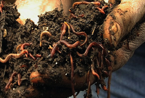 With the help of his army of worms, Allen converts a million pounds of waste into black gold every year.