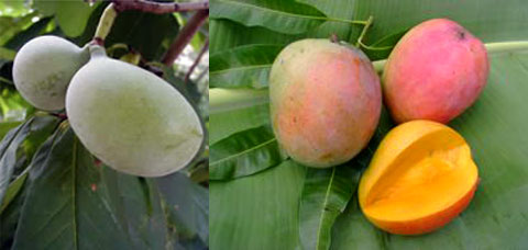 Left: The pawpaw is native to the US, yet generally unknown to the American public. Right: The Hatcher mango is a cultivar unique to South Florida. The variety is very prolific and yields unusually large, blemish-free fruits that can weigh 2-3 pounds or more.