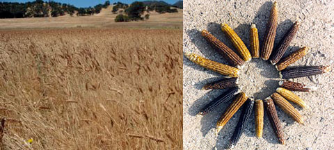 "Left: White Sonora wheat is one of the oldest surviving wheat varieties anywhere in North America. Right: As one of the most ancient corn species, the Chapalote Corn plant, also known as ""Pinole Maiz,"" was the first corn species to enter the US from Central America."