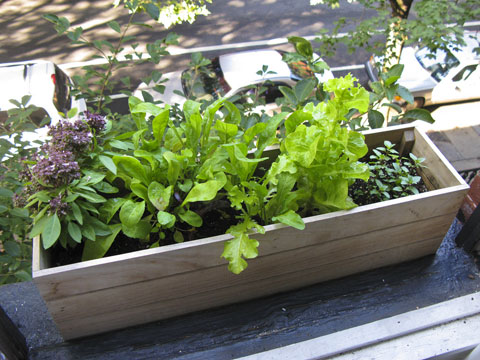 My own Edible Garden-inspired windowbox garden.