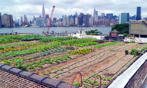 The view is killer, but the produce healthy and organic. Rooftop Farms at Eagle Street in Greenpoint set out to prove that it is possible to grow food in New York City.