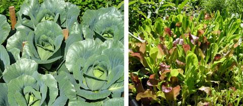 Farmyard cabbages & salad mix.