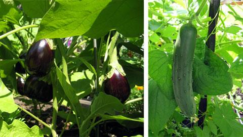 Farmyard eggplants & cucumber.