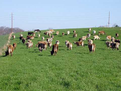 Between April and November, Seven Star's cows spend most of their time on pasture.