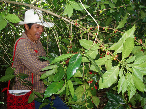 Mexican Fair Trade coffee farmer at work in the fields. Photo by Shared Interest, Creative Commons.