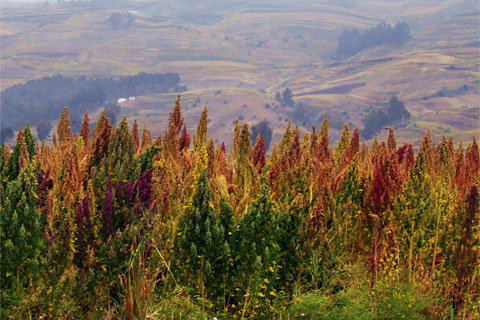 A field om multi-colored Quinoa plants. Beautiful.