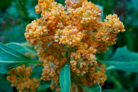 """Chenopodium quinoa"" flowering. Photo by Christian Guthier, Wikimedia Commons."