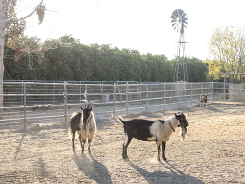The goats need to be milked twice daily and each one produces 1-2 gallons of milk per day.