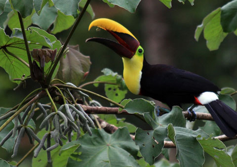 For birdwatchers, toucans are a common sight on the Osa Peninsula.