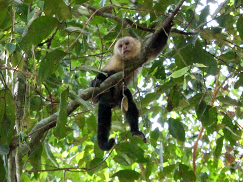 ...or a whiteface monkey, who are actually quite a common sight.