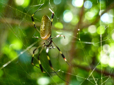 Seasoned guides are available on the property, and will  guide you through the jungle, where you will see many different species, like this golden orb spider...