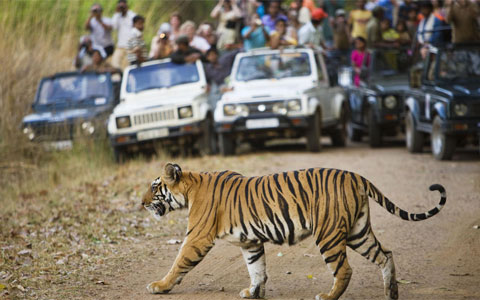 Charismatic species like tigers are a huge tourist draw and are an important source of revenue in many countries. Here, a Bengal tiger crosses the road in front of watching tourists at Bandhavgarh National Park in India. Photo: naturepl.com / Tony Heald / WWF-Canon