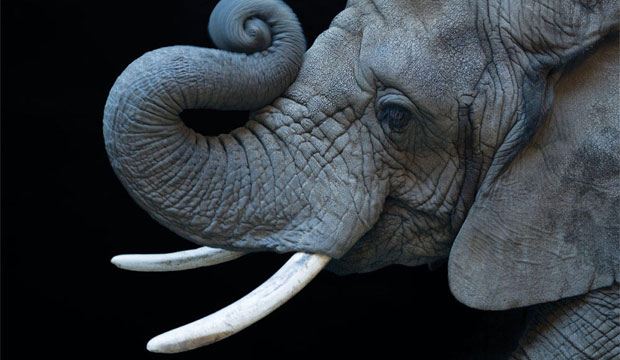 Goodlifer: Thailand Promises to End Ivory Trade
