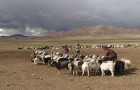 Conscious Cashmere Shawls, Made by Tibetan Nomads