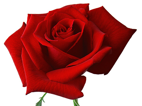 Good Stuff: For Your Valentine: fairtrade rose